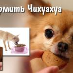 Чем кормить Чихуахуа