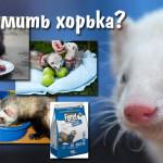 Чем кормить хорька?