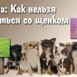 Чихуахуа: Как нельзя обращаться со щенком