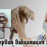 Первая вакцинация хорьков (фреток)
