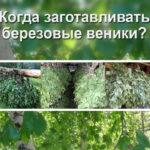 Когда заготавливать березовые веники?